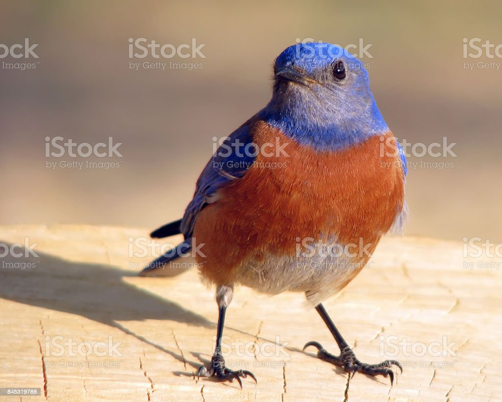 Western Bluebird - Sialia Mexicana - Male - Davis - California stock photo
