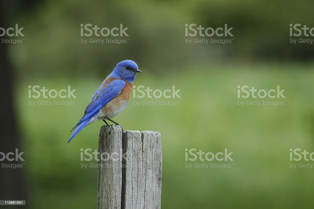 western bluebird, Sialia mexicana royalty-free stock photo