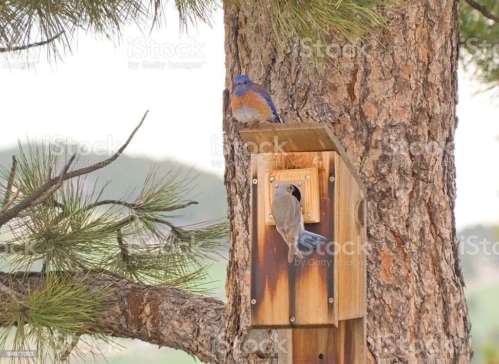 Western Bluebirds royalty-free stock photo