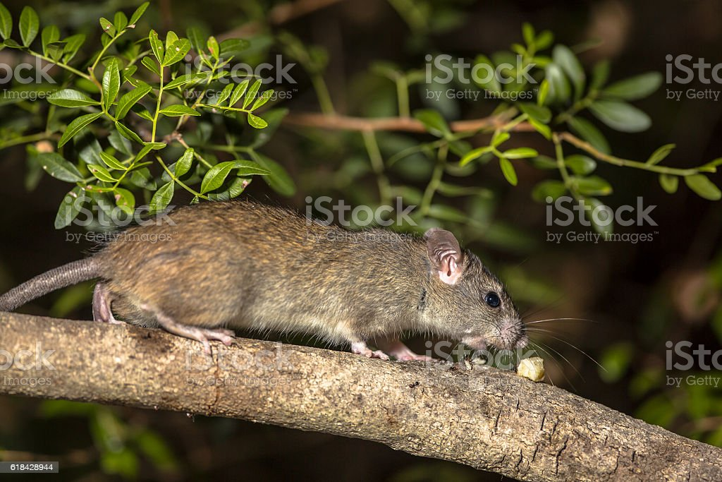 Western broad-toothed field mouse stock photo