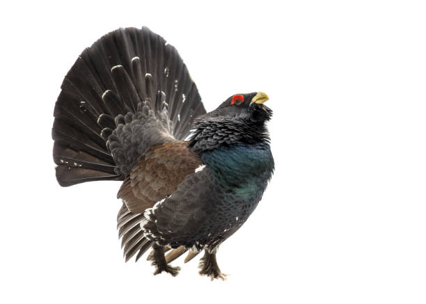 Western capercaillie wood grouse on white background - Photo