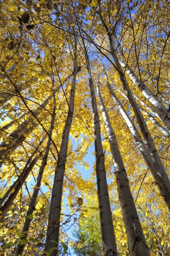 Western China, autumn trees xinduqiao