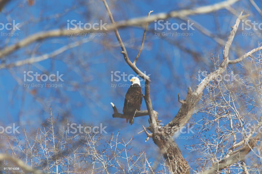 Western Colorado Outdoors American Freedom Symbol Perched Bald Eagle royalty-free stock photo
