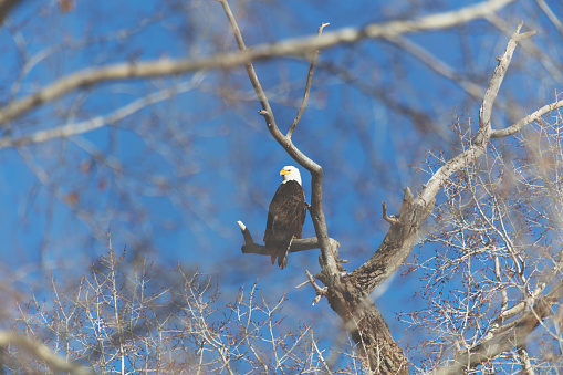 Western Colorado Outdoors American Freedom Symbol Perched Bald Eagle Stock Photo - Download Image Now