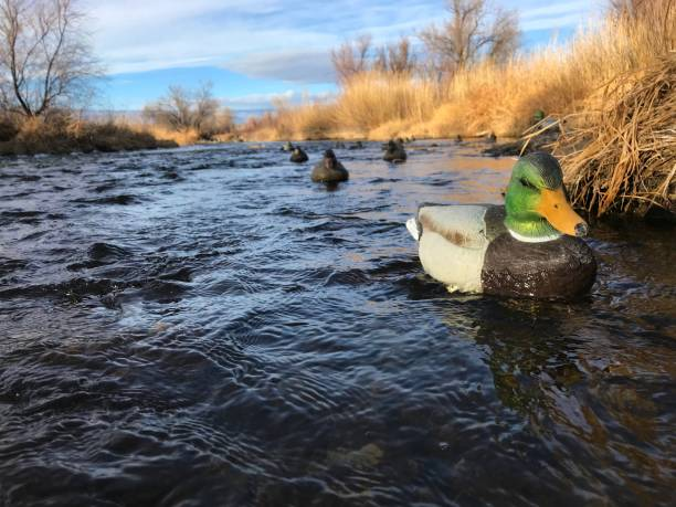Western Colorado winter outdoor sports duck hunting Morning waterfowl hunt in the grass in the uncompahgre river Western Colorado winter outdoor sports duck hunting decoys - shot wit iPhone 7 Plus water bird stock pictures, royalty-free photos & images