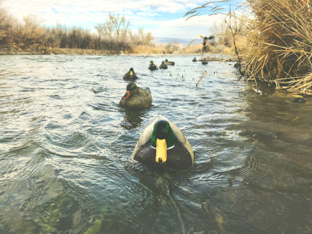 Western Colorado Winter Outdoor Sports Mallard Duck Hunting Decoys Morning waterfowl Mallard Hunt Western Colorado winter outdoor sports duck hunting Decoys waterfowl shot during hunt at various angles with copy space and varied depth of field - shot with iPhone 7 Plus hunting blind stock pictures, royalty-free photos & images