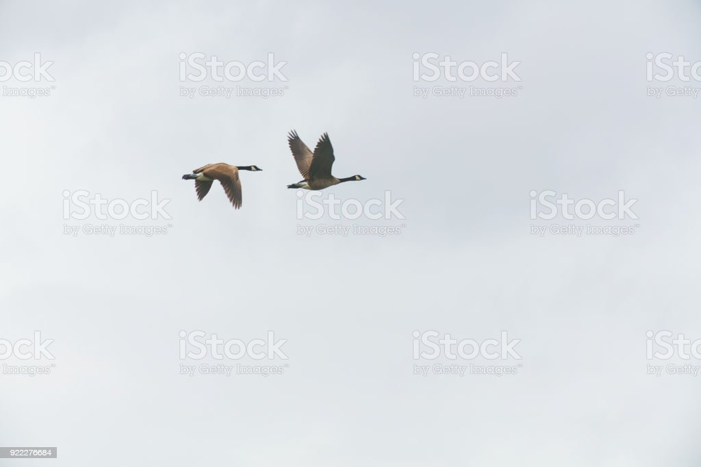 Western Colorado Winter Sports Duck Canadian Snow Goose Photography royalty-free stock photo