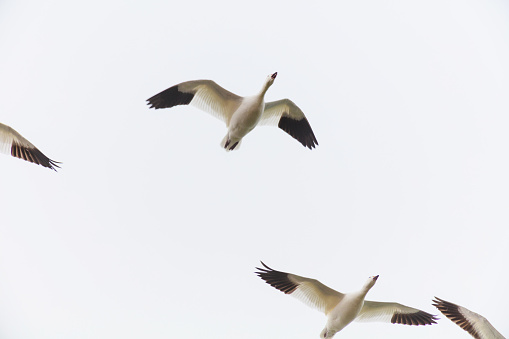 Western Colorado Winter Sports Duck Canadian Snow Goose Photography Stock Photo - Download Image Now