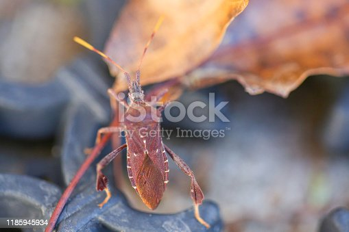 Western Conifer Seed Bug (Leptoglossus occidentalis) in backyard - Image