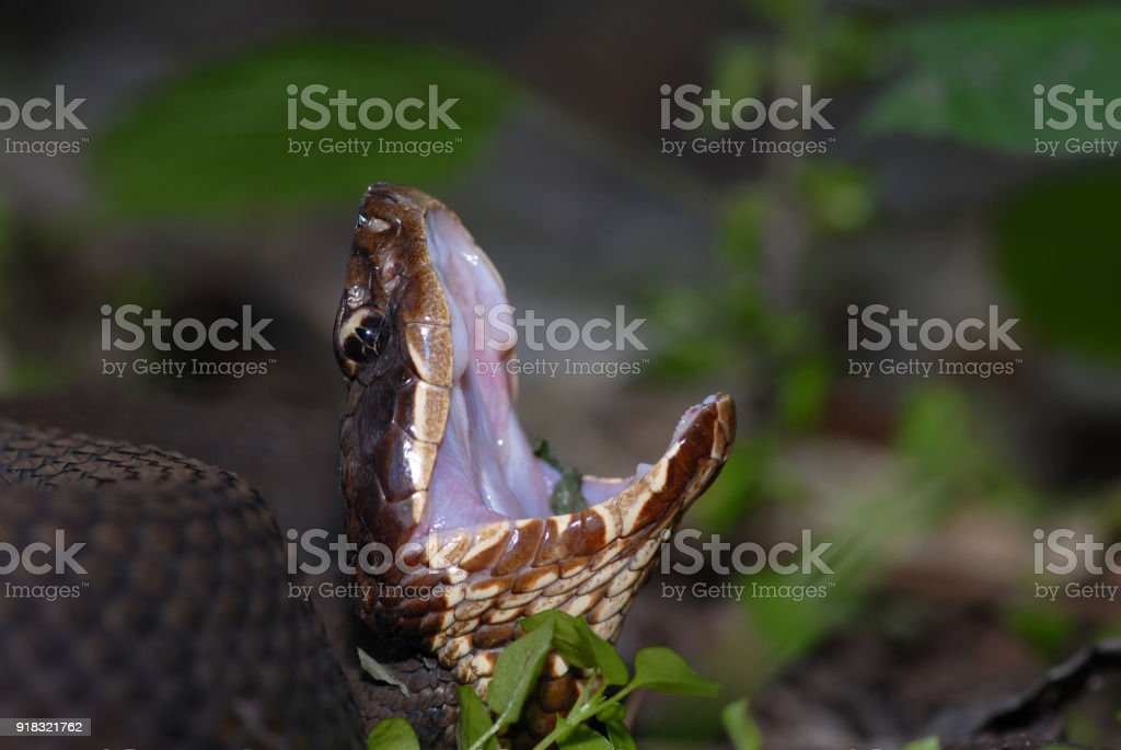 Western Cottonmouth Display stock photo
