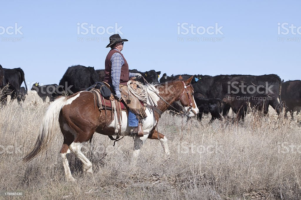 Western cowboy herding cattle in a dry grass open range stock photo