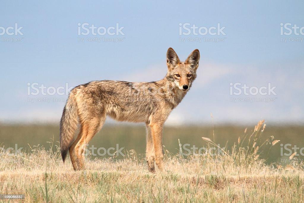 Western Coyote stock photo