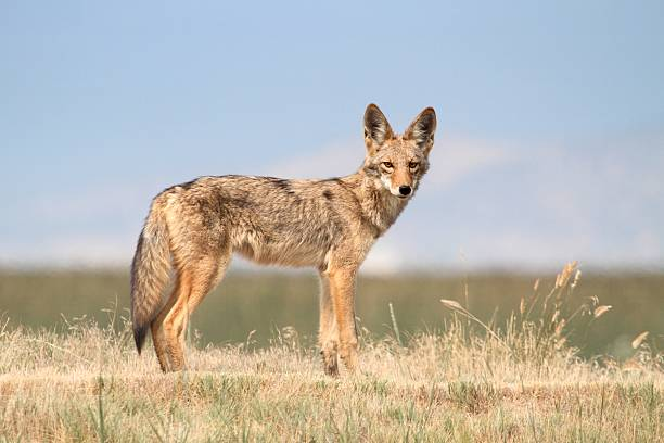 Western Coyote stock photo