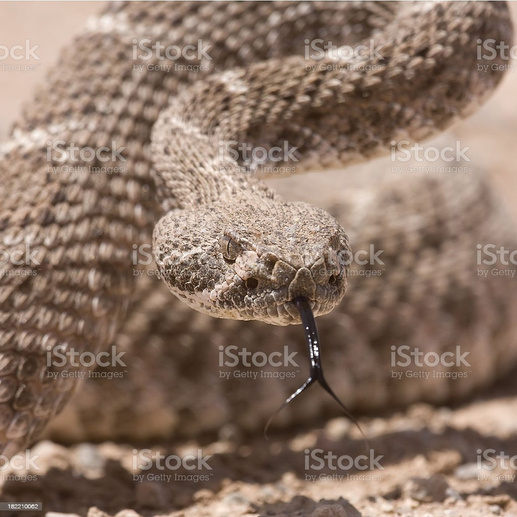 Western Diamonback Rattlesnake with tongue out stock photo