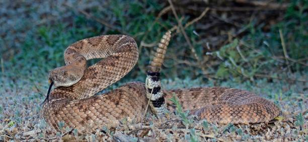 western diamondback coiled - snake strike stock photos and pictures