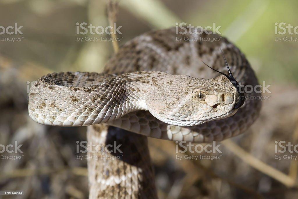 Western Diamondback Rattlesnake, 10/14/12 stock photo