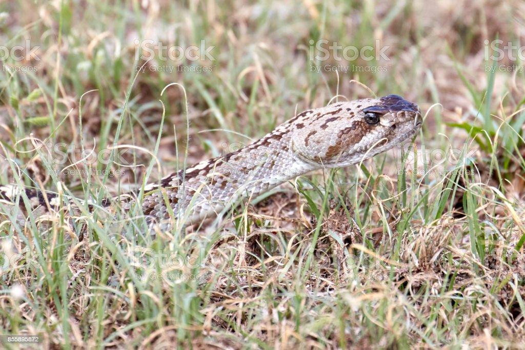 Western Diamondback Rattlesnake Head stock photo