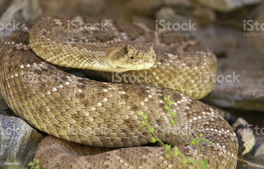 Western Diamondback Rattlesnake hiding in rocks stock photo