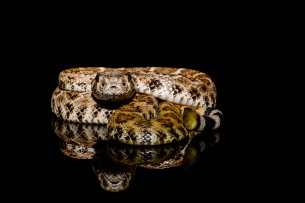 western diamondback rattlesnake or texas diamond-back (crotalus atrox) on solid black background - snake strike stock photos and pictures