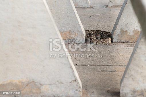 sunning rattlesnake warming on the concrete