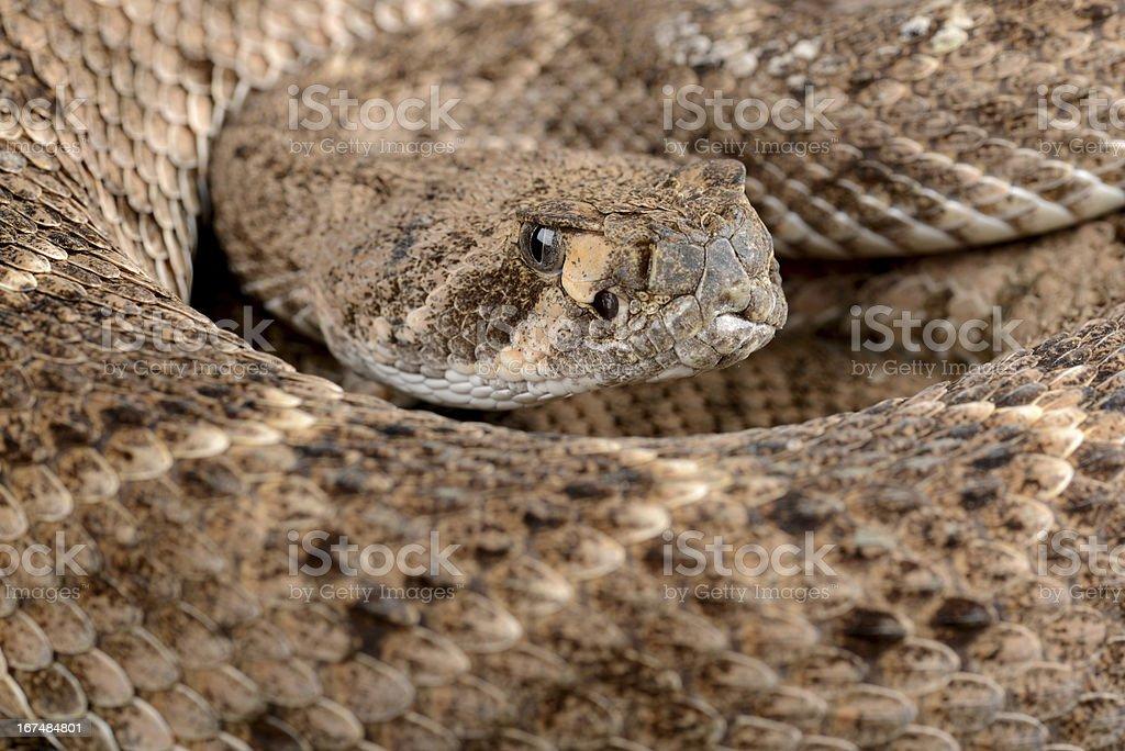 Western Diamondback Rattlesnake. stock photo