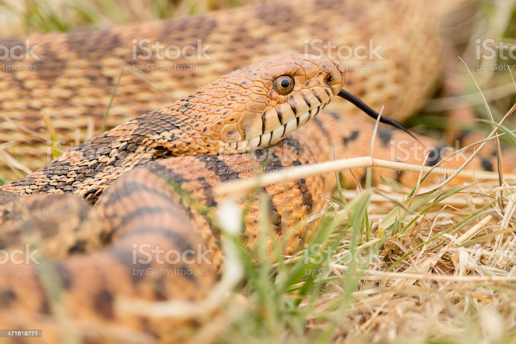 Western Diamondback Rattlesnake royalty-free stock photo