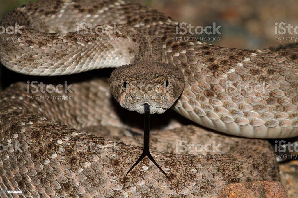 Western Diamondback Rattlesnake (Crotalus atrox) stock photo