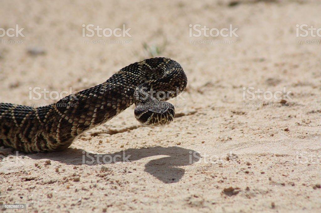 western diamond-back rattlesnake stock photo