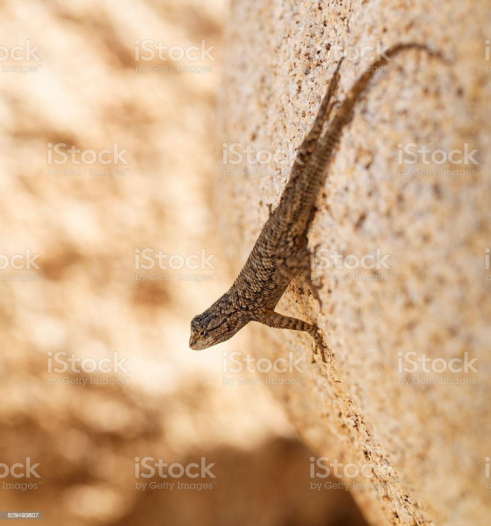 Western Fence Lizard Looking out on a Rock stock photo
