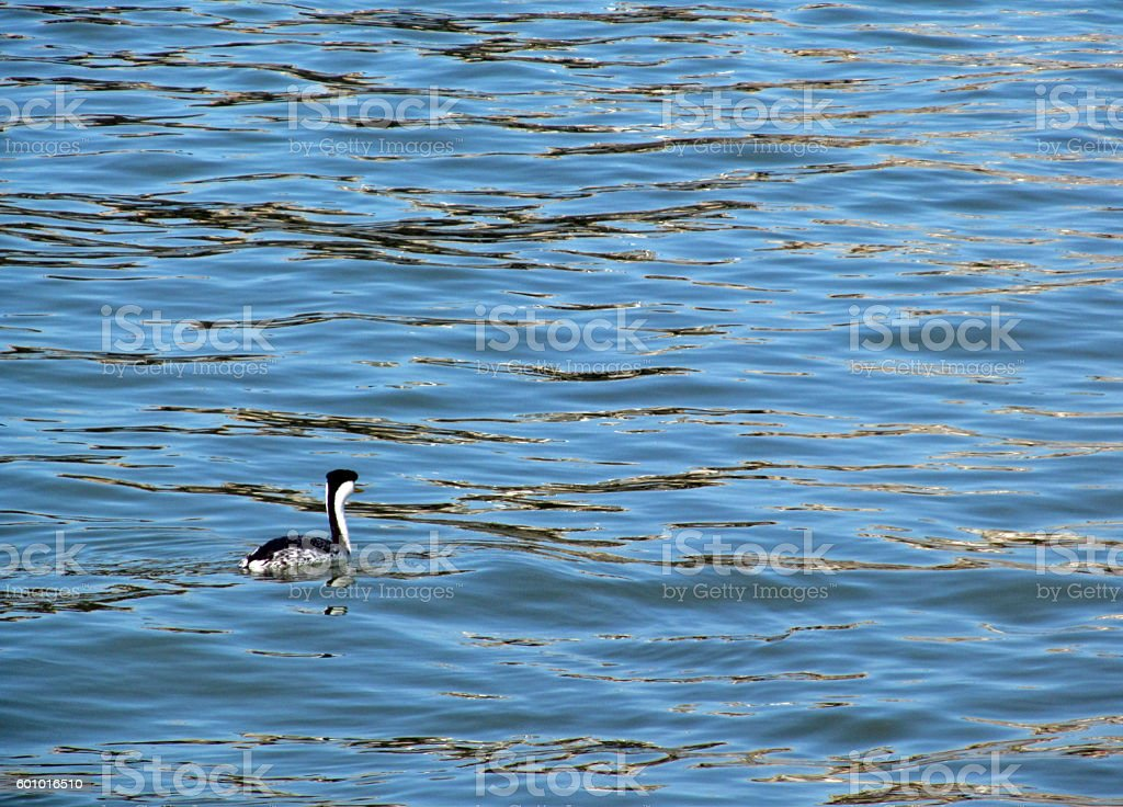 Western Grebe On The Bay stock photo