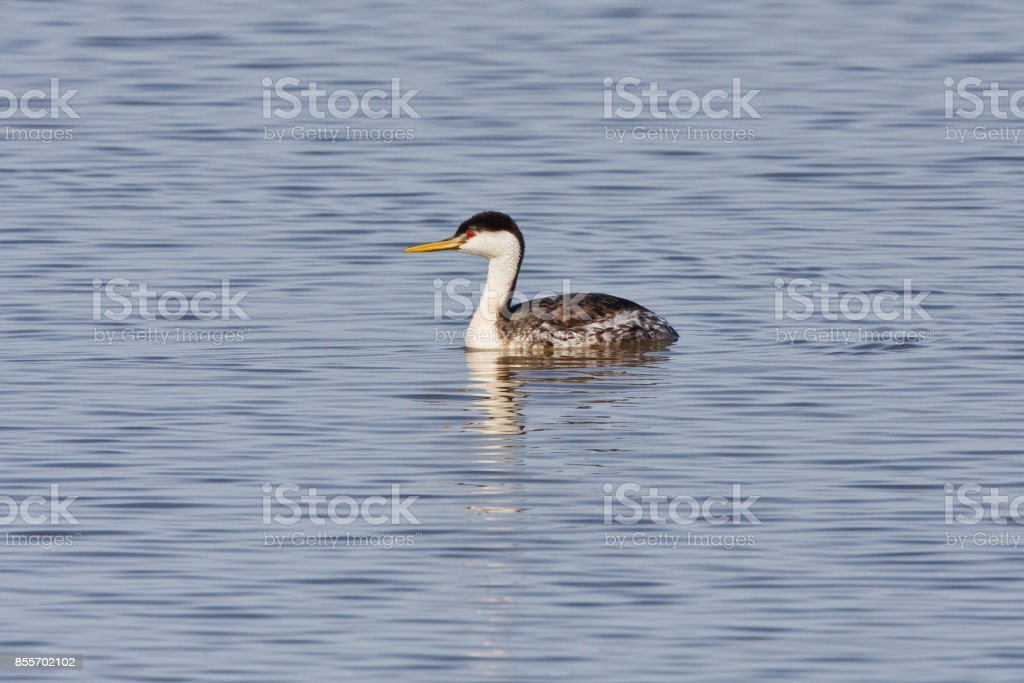 Western Grebe on the water stock photo