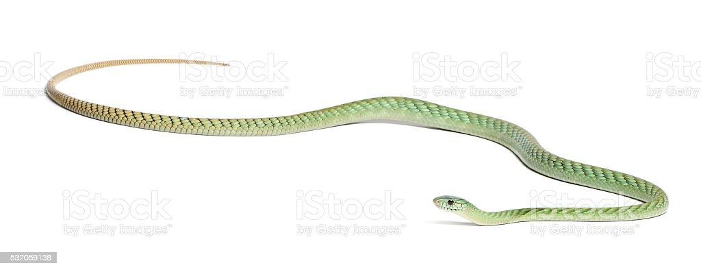 Western green mamba - Dendroaspis viridis, poisonous, white background stock photo