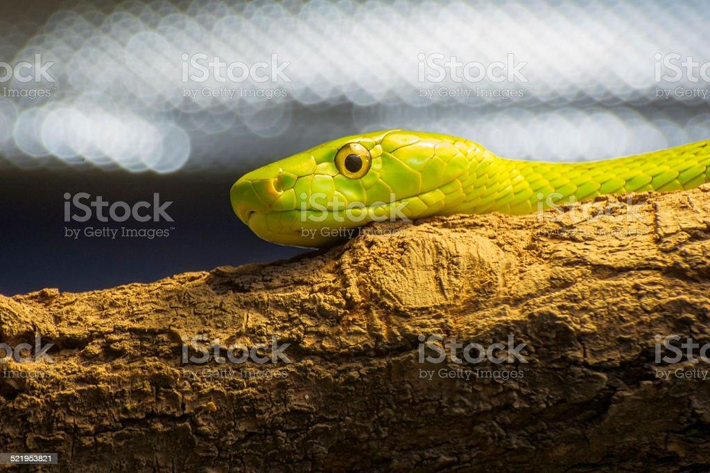 Western green mamba (Dendroaspis viridis) stock photo