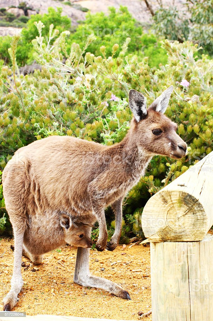 Western Grey Kangaroo Mother, Joey in Pouch, Cape Le Grand stock photo