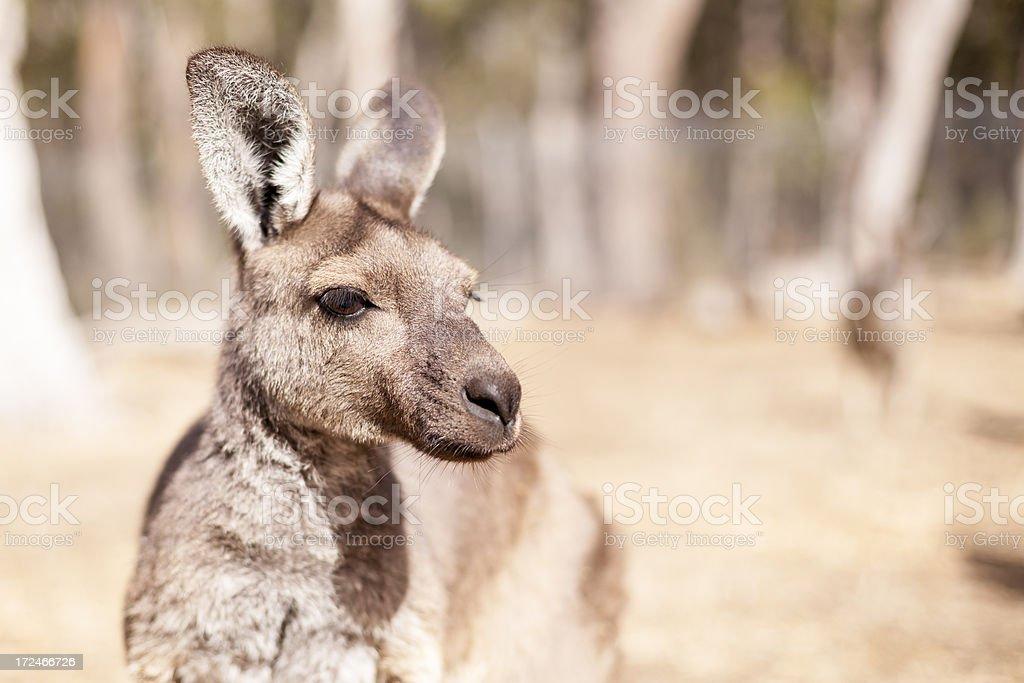 Western Grey Kangaroo royalty-free stock photo