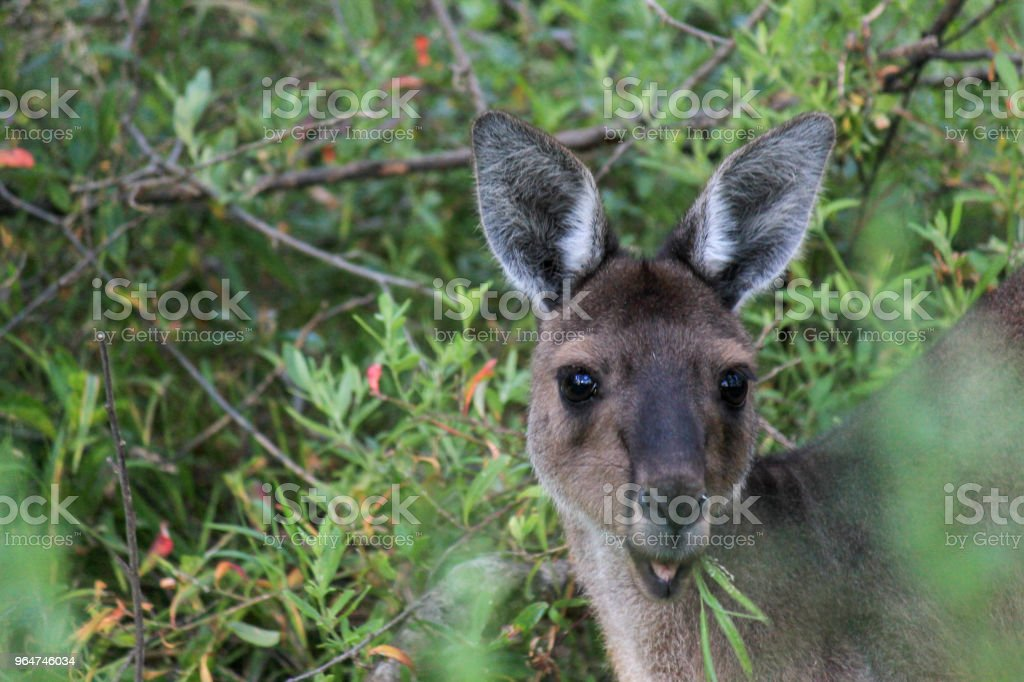 Western Grey Kangaroo royalty-free stock photo