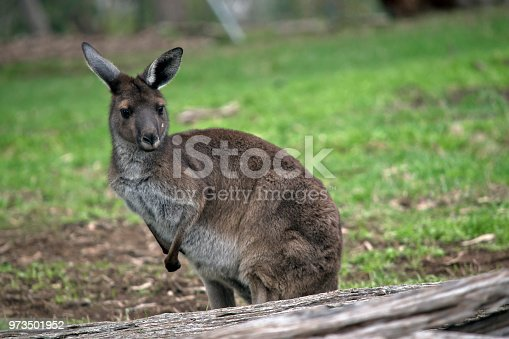 the western grey kangaroo is resting on the grass
