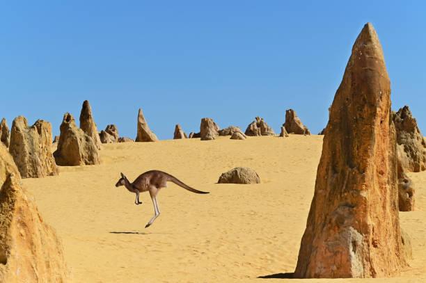 Western grey kangaroos hopping in the Pinnacles Desert near Cervantes in Western Australia stock photo