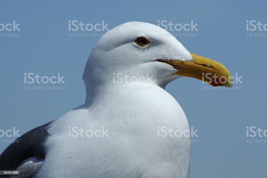 western gull, Larus occidentalis stock photo