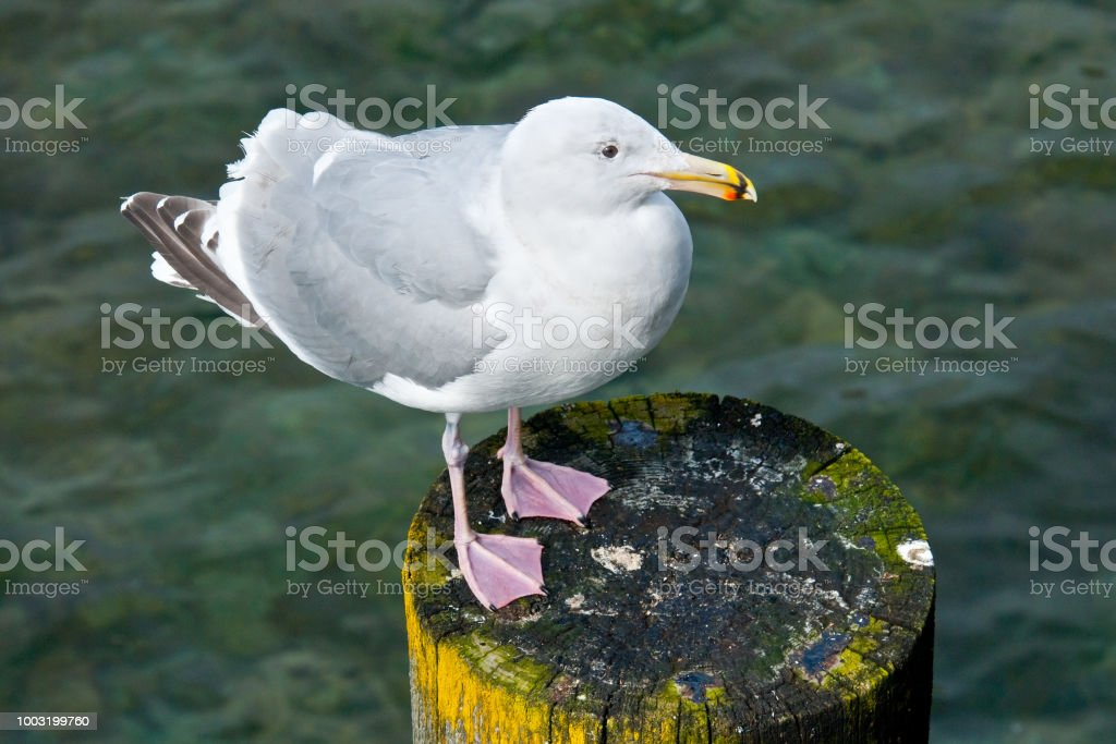Western Gull Perched on a Piling stock photo