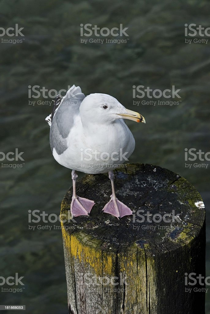 Western Gull Perched on a Piling royalty-free stock photo