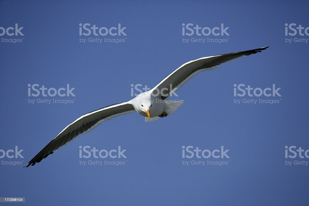 Western Gull royalty-free stock photo