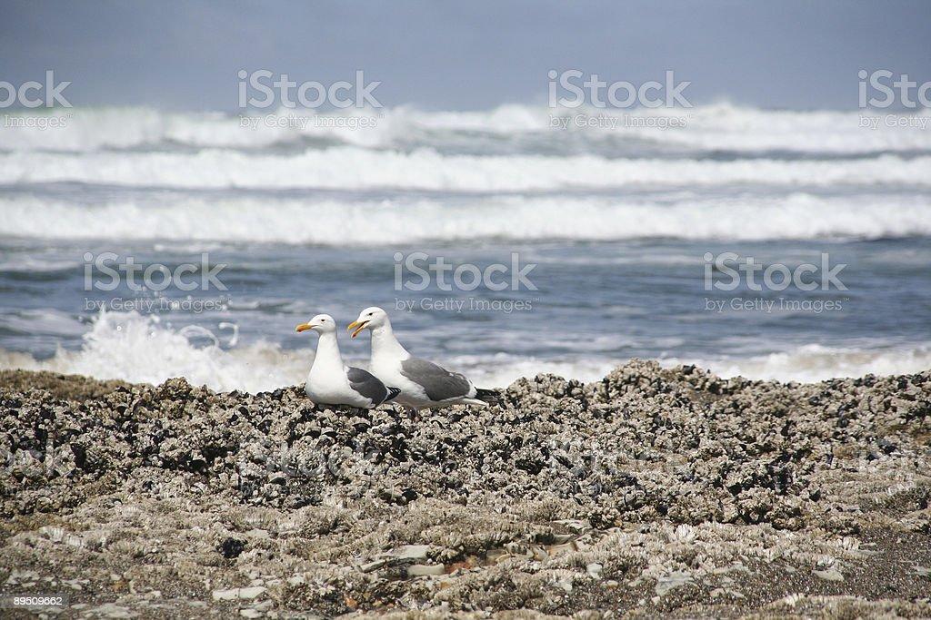 Western gulls on barnacle reef royalty-free stock photo