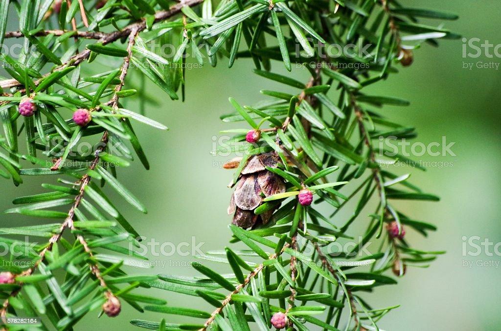 Western Hemlock pine tree stock photo
