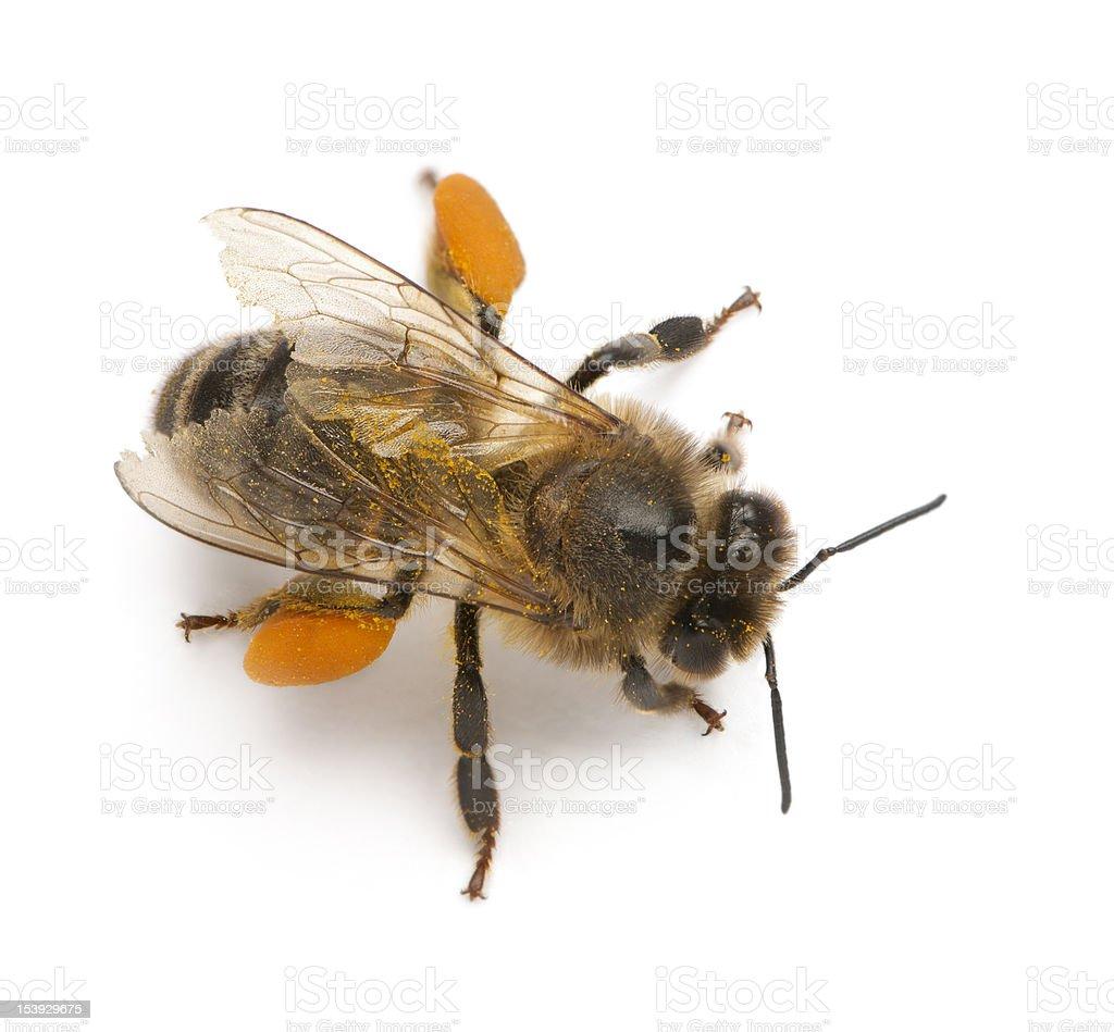 Western honey be, Apis mellifera, carrying pollen stock photo
