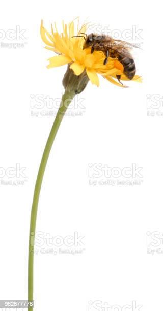 Western honey bee or european honey bee apis mellifera carrying picture id962877778?b=1&k=6&m=962877778&s=612x612&h=ysb35jt cjjxfiokqjvkqbjunf2pnmbwi v8oj7c2lu=
