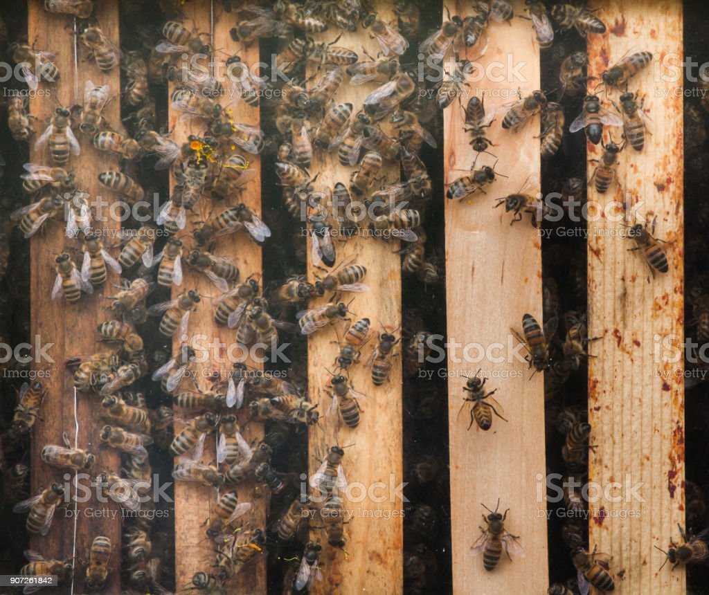 Western honey bee (Apis mellifera) stock photo