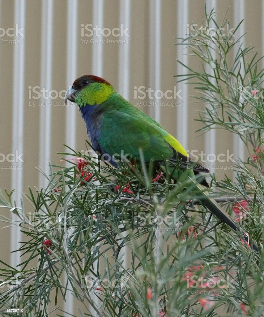 Western King Parrot stock photo