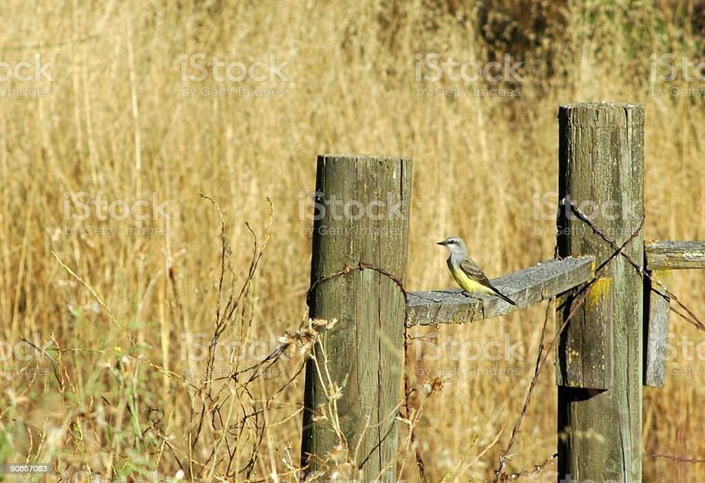 western kingbird, Tyrannus verticalis, perched on fence stock photo