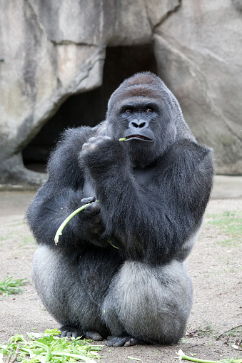 Western Lowland Gorila